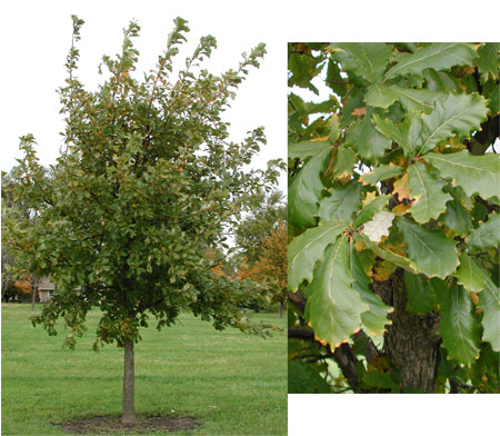 Its Leaves Do Not Curl Up Like The Native White Oak Trees In Area And